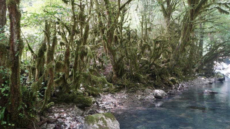 Гудаута - самшитовый лес